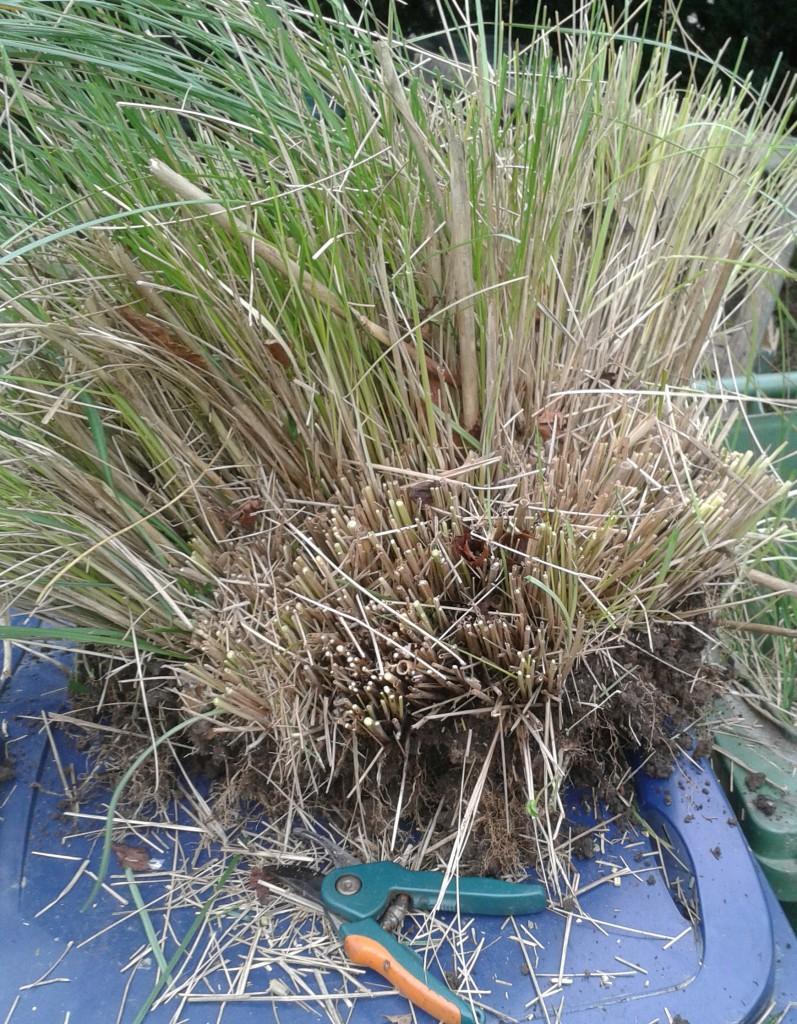 Divide perennial grasses