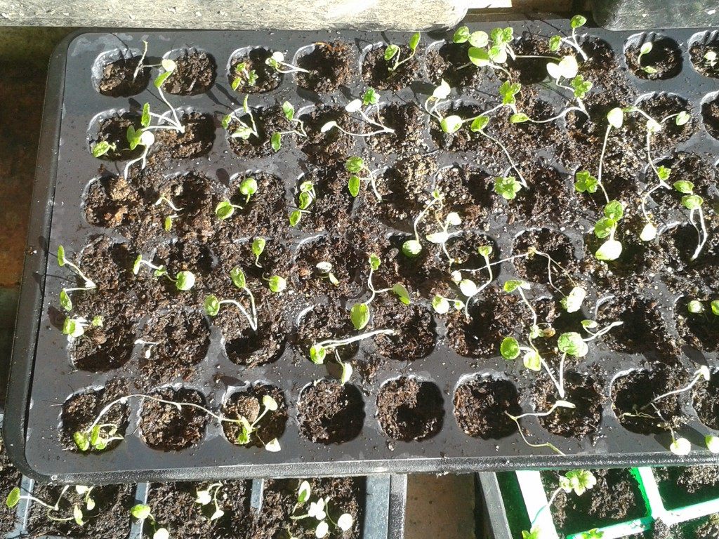 Delphinium seedlings