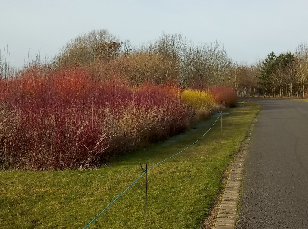 Dogwood for winter colour