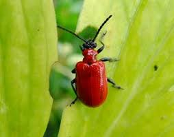 Stopping lily beetle